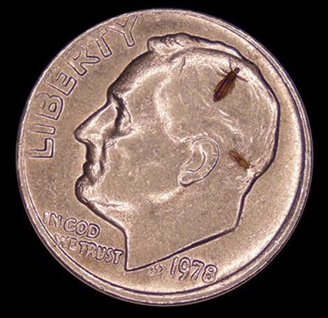 pidocchio moneta